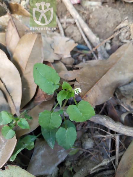 Cerastium aquaticum