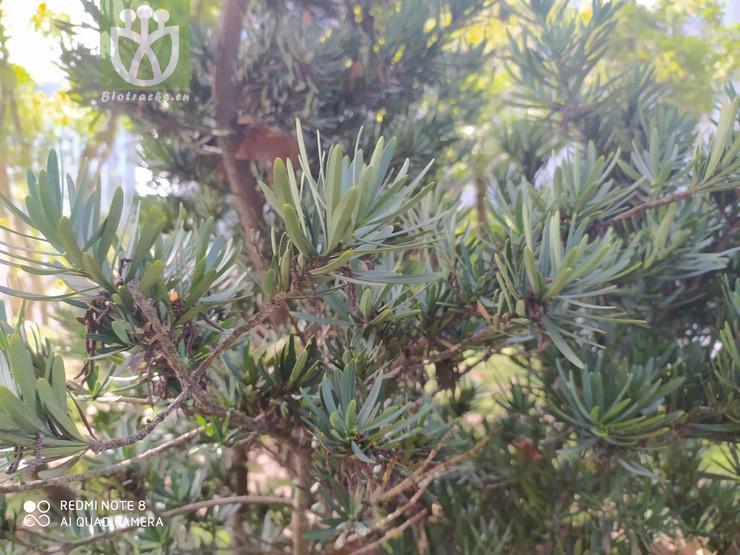 Podocarpus chinensis