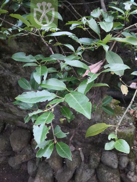 Euonymus hederaceus