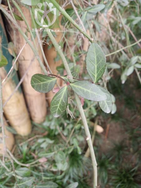 Euonymus kiautschovicus
