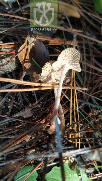 Lepidosperma chinense