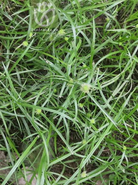 Kyllinga polyphylla