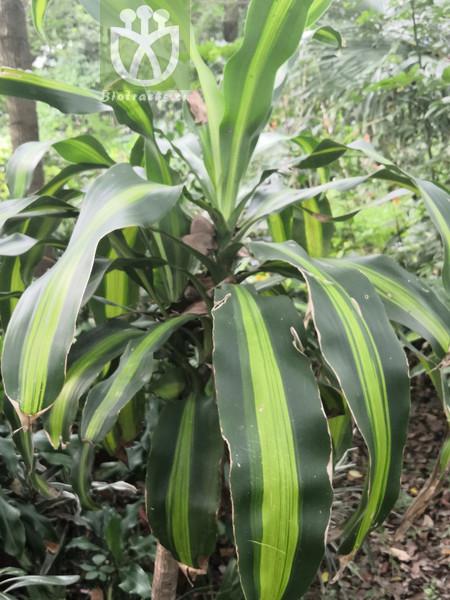Scleria hookeriana