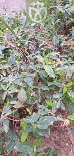 Norysca chinensis