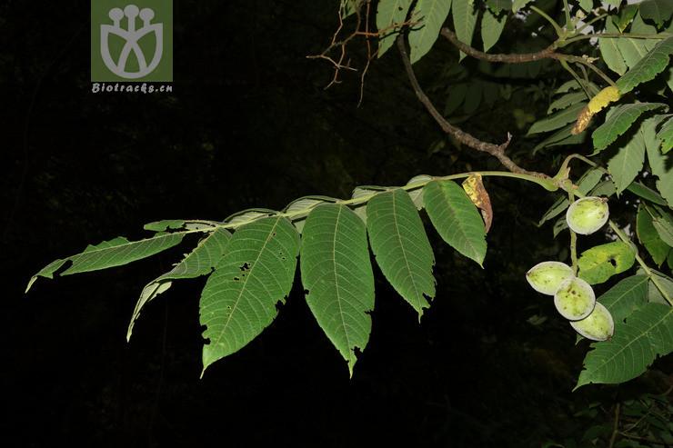 Carya kweichowensis