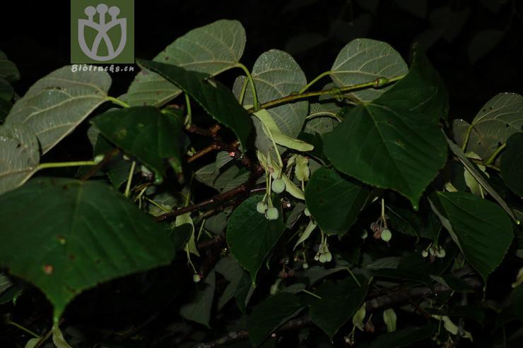 Tilia nobilis