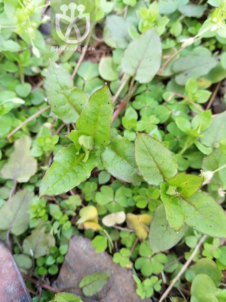 Myosoton aquaticum