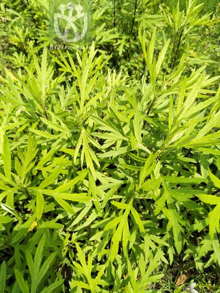 Artemisia selengensis