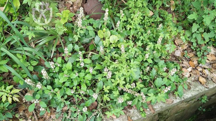 Sterculia kingtungensis