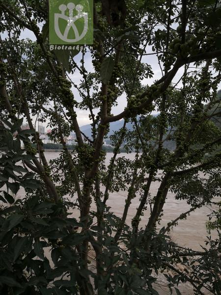 Ficus lanceolata