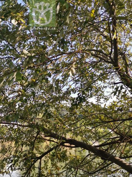 Salix dunnii