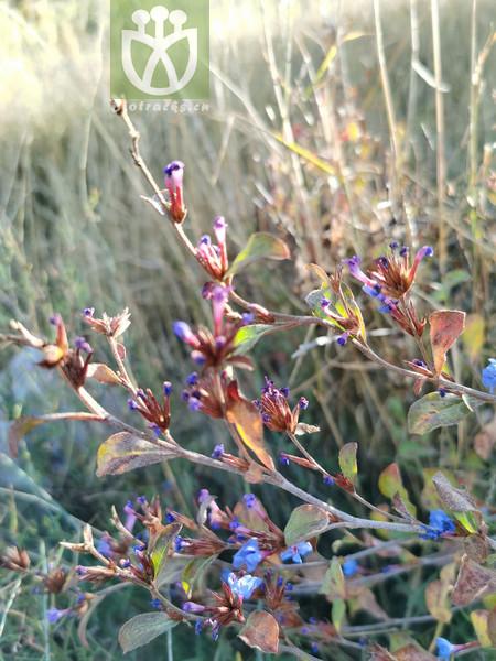 Ajania latifolia