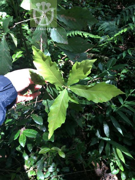 Quercus serrata