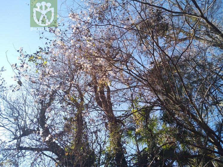 Armeniaca sibirica var. pubescens