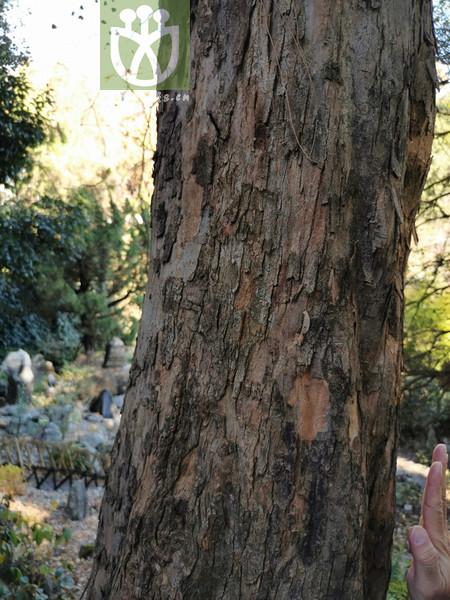 Ostrya japonica