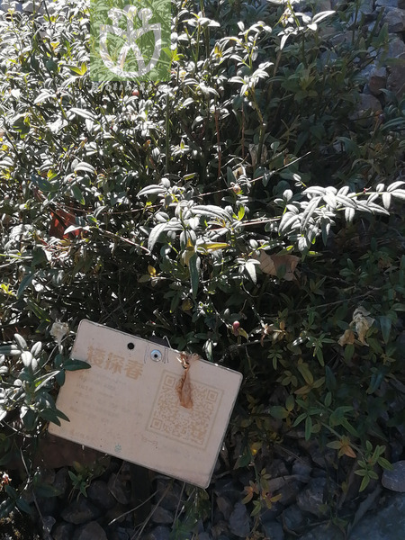 Hypericum dubium