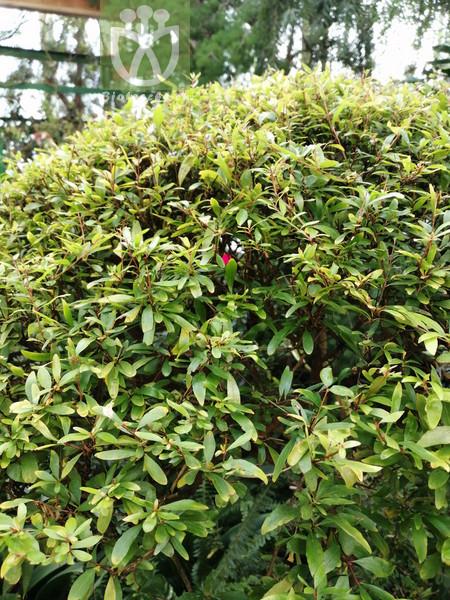 Quercus acrodonta