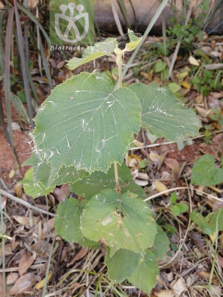 Corylus yezoensis