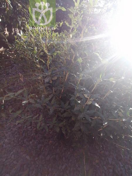 Potamogeton rubrinaevus