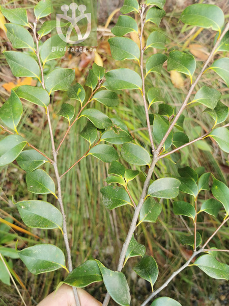 Castanopsis eyrei