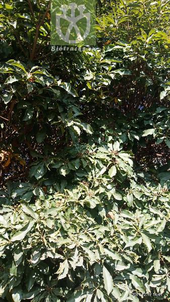 Euonymus provicarii