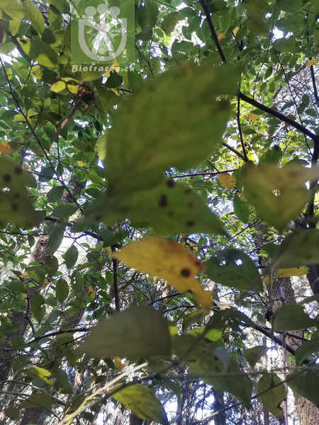 Quercus aliena