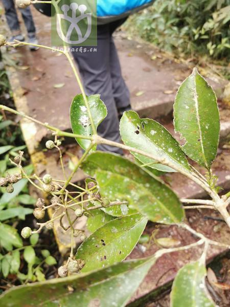 Turpinia glaberrima var. stenophylla
