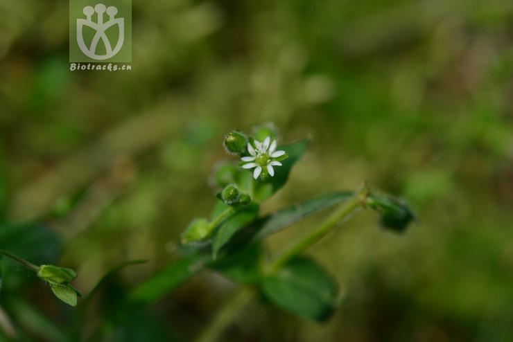 Malachium calycinum