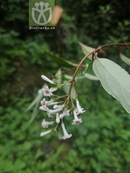 Viburnum sp.