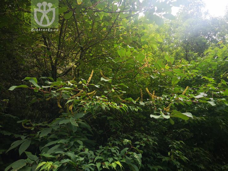 Salix magnifica