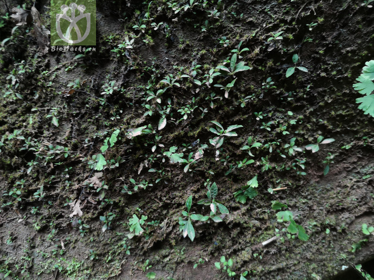 Salvia campanulata var. codonantha