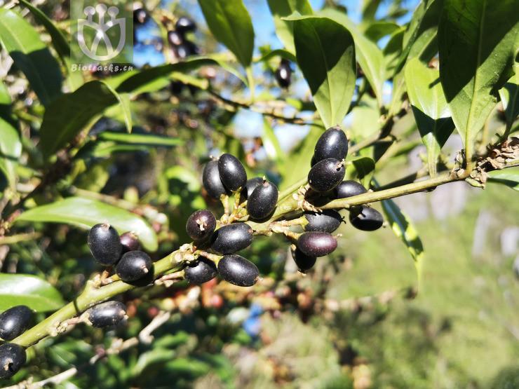 Salix microstachya var. bordensis