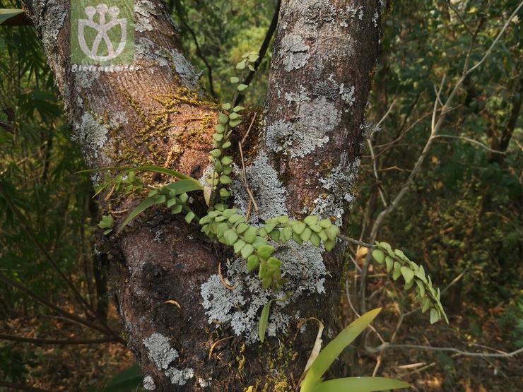 Elaeocarpus quercifolius