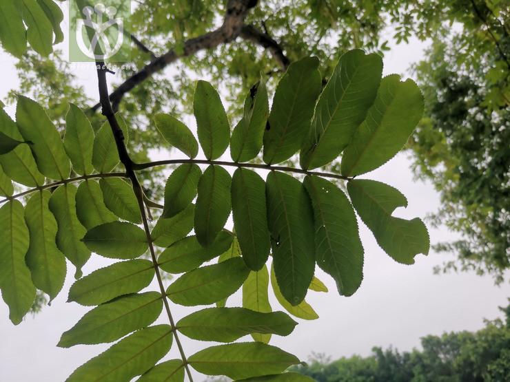 Pterocarya sp.