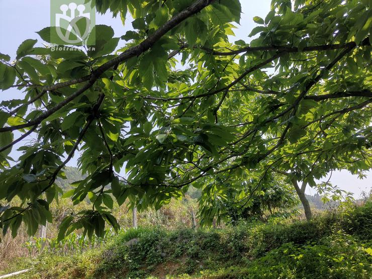 Castanea formosana