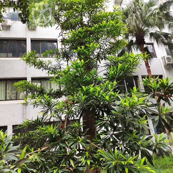 Elaeocarpus hainanensis var. hainanensis