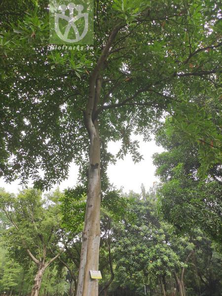Elaeocarpus sphaerocarpus