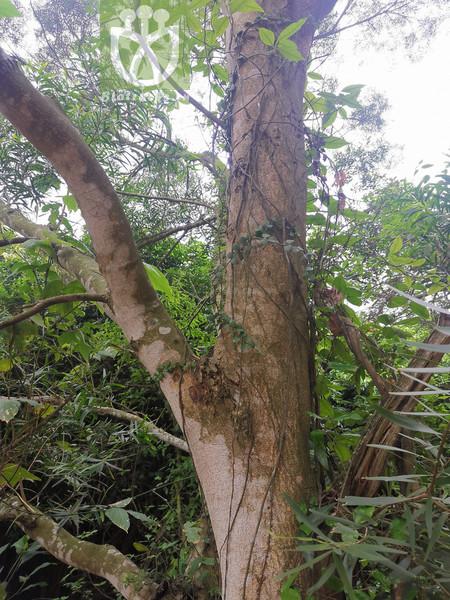 Podocarpus wangii