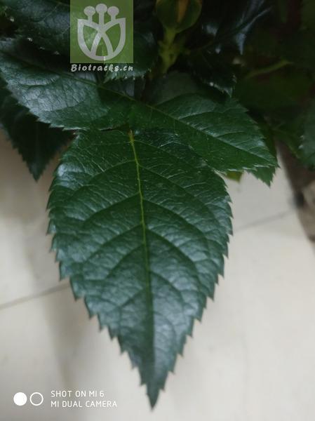Pulsatilla patens subsp. multifida