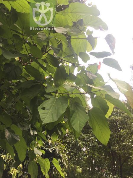 Sterculia hainanensis