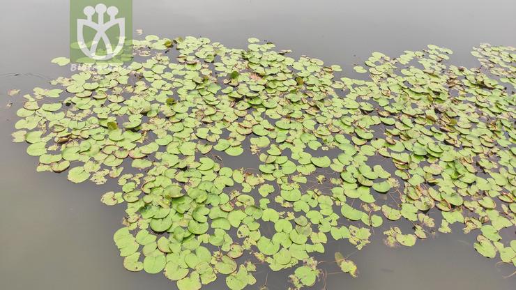 Trapella sinensis
