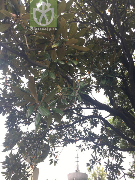 Magnolia stricta