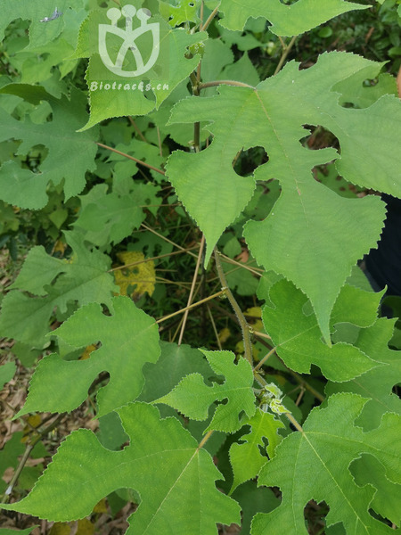 Salix helix