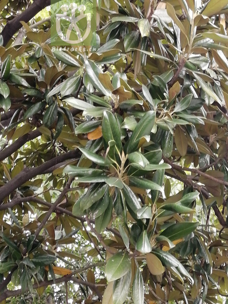 Magnolia praecox