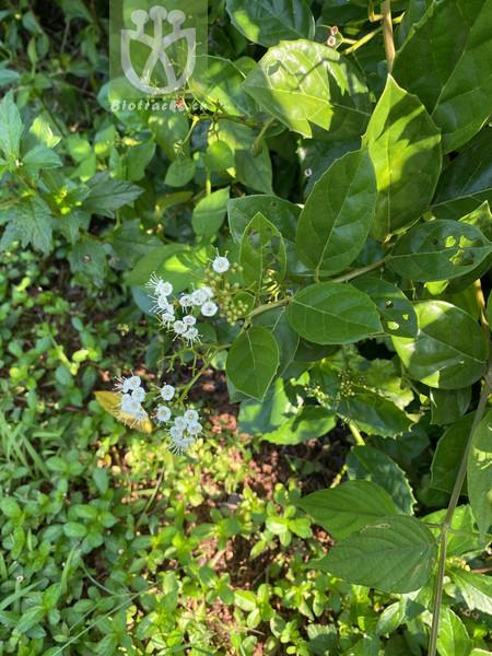 Ehretia thyrsiflora var. latifolia