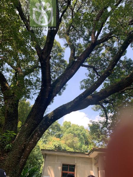 Ficus affinis