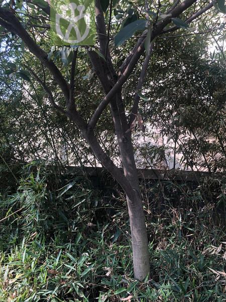 Cotinus coggygria var. chengkouensis