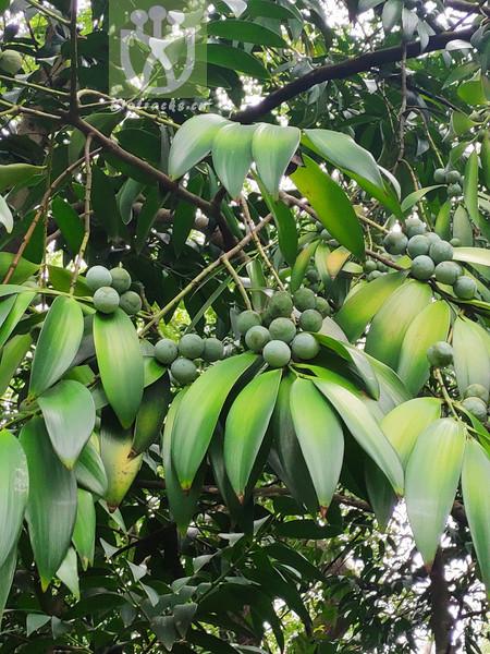 Podocarpus fleuryi