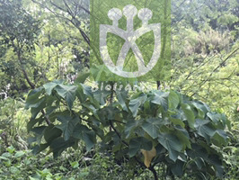 Potamogeton heterophyllus