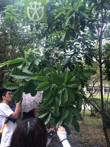 Elaeocarpus decipiens var. decipiens